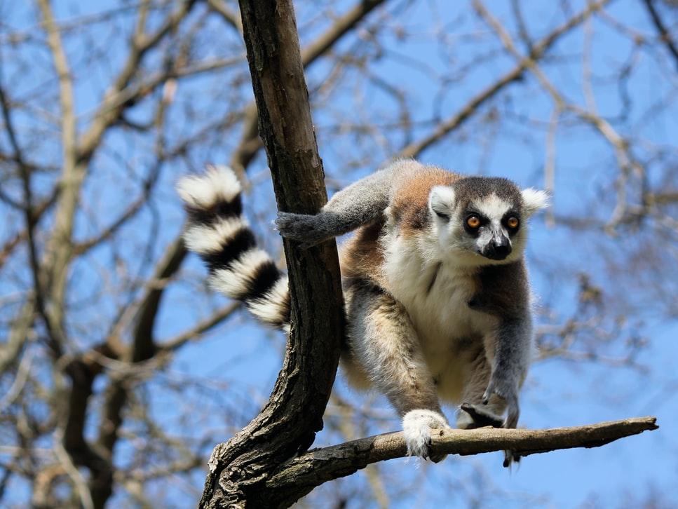 Séjour à Madagascar lémurien